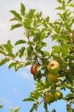 Χαμηλά δέντρα μηλιάς Στοκ εικόνες με δικαίωμα ελεύθερης χρήσης