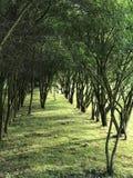 Χαμηλά δέντρα, που φυτεύονται σε μια σειρά Πράσινη αλέα στο πάρκο πόλεων Στοκ φωτογραφίες με δικαίωμα ελεύθερης χρήσης