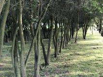 Χαμηλά δέντρα, που φυτεύονται σε μια σειρά Πράσινη αλέα στο πάρκο πόλεων Στοκ Φωτογραφίες