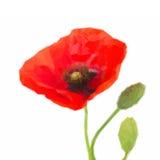 Χαμηλά polly λουλούδια παπαρουνών διανυσματική απεικόνιση