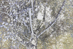 Χαμηλή άποψη γωνίας στο ασημένιο δέντρο σημύδων Στοκ εικόνες με δικαίωμα ελεύθερης χρήσης