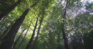 Χαμηλή γωνία που βλασταίνεται των δέντρων σε ένα δάσος απόθεμα βίντεο