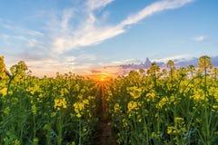 Χαμηλότερη άποψη πέρα από τον τομέα συναπόσπορων με τις κίτρινες ανθίσεις στο ηλιοβασίλεμα Στοκ Εικόνες