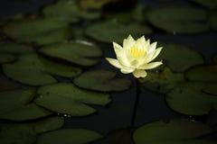 Χαμηλό ανοικτό κίτρινο λουλούδι λωτού κινηματογραφήσεων σε πρώτο πλάνο στη λίμνη Στοκ φωτογραφίες με δικαίωμα ελεύθερης χρήσης