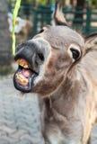 Χαμογελώντας γάιδαρος Στοκ φωτογραφία με δικαίωμα ελεύθερης χρήσης