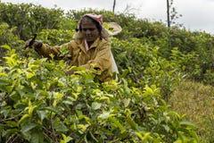Χαμογελώντας γυναίκα που εργάζεται σε μια φυτεία τσαγιού στη Σρι Λάνκα στοκ εικόνες