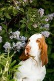 χαμογελώντας λουλούδια σκυλιών κυνηγόσκυλων μπασέ standingin Πράσινη ανασκόπηση στοκ εικόνα