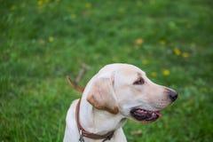 Χαμογελώντας Retriever του Λαμπραντόρ, επίσης Λαμπραντόρ, labradorite για έναν περίπατο έκλεισε τα μάτια του Στοκ φωτογραφία με δικαίωμα ελεύθερης χρήσης