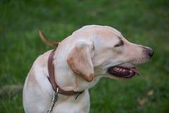 Χαμογελώντας Retriever του Λαμπραντόρ, επίσης Λαμπραντόρ, labradorite για έναν περίπατο έκλεισε τα μάτια του Στοκ Εικόνες