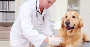 Χαμογελώντας θηλυκός κτηνίατρος που επιδένει το πόδι σκυλιών φιλμ μικρού μήκους