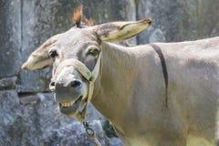 Χαμογελώντας μουλάρι Στοκ εικόνα με δικαίωμα ελεύθερης χρήσης