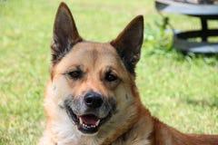 Χαμογελώντας το σκυλί Gerkita έξω το καλοκαίρι Στοκ φωτογραφία με δικαίωμα ελεύθερης χρήσης
