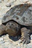 χαμογελώντας χελώνα Στοκ Εικόνα