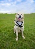 Χαμογελώντας χρυσό Retriever σκυλιών Στοκ Εικόνες