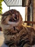 Χαμόγελο γατών ` s Μεγάλο γούνινο ανοιγμένο γατών αναμιγνύω-φυλής ευρέως ρύγχος στοκ εικόνες