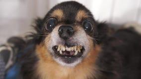 Χαμόγελο ενός μικρού χαριτωμένου σκυλιού απόθεμα βίντεο