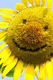 Χαμόγελο ηλίανθων. Στοκ φωτογραφία με δικαίωμα ελεύθερης χρήσης