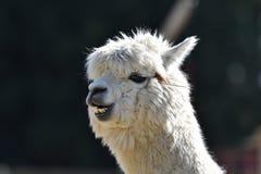 χαμόγελο λάμα στοκ φωτογραφίες με δικαίωμα ελεύθερης χρήσης