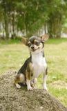 χαμόγελο σκυλιών chihuahua στοκ φωτογραφία με δικαίωμα ελεύθερης χρήσης