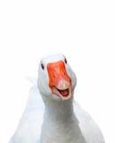 χαμόγελο χήνων Στοκ εικόνες με δικαίωμα ελεύθερης χρήσης
