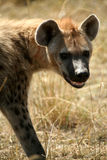 χαμόγελο hyena που επισημαίν&ep Στοκ φωτογραφία με δικαίωμα ελεύθερης χρήσης