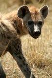 χαμόγελο hyena που επισημαίν&ep Στοκ Φωτογραφίες