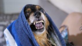 Χαμόγελο ενός μικρού σκυλιού απόθεμα βίντεο