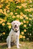 Χαμόγελο με το στενό θηλυκό σκυλί του Λαμπραντόρ ματιών κίτρινο χρυσό στη συνεδρίαση Στοκ Φωτογραφία
