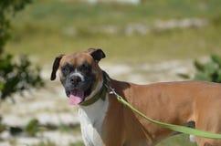 Χαμόγελο του σκυλιού μπόξερ στο λουρί Στοκ Φωτογραφίες