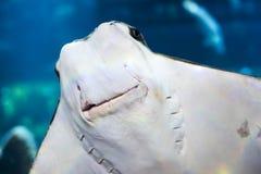 Χαμόγελο του stingray Στοκ Φωτογραφία