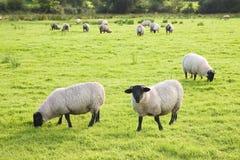 Χαρακτηριστικά wooly γραπτά ιρλανδικά πρόβατα κατά τη βοσκή πολύβλαστο σε πράσινο Στοκ φωτογραφία με δικαίωμα ελεύθερης χρήσης