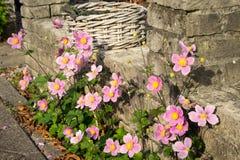 Χαρακτηριστικός αστικός κήπος με τα ρόδινα λουλούδια που αυξάνονται κατά μήκος ενός τουβλότοιχος στοκ φωτογραφία με δικαίωμα ελεύθερης χρήσης