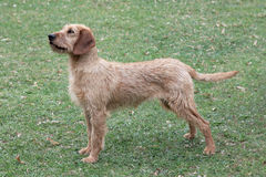 Χαρακτηριστικό κυνηγόσκυλο Styrian σε έναν πράσινο χορτοτάπητα χλόης στοκ εικόνες με δικαίωμα ελεύθερης χρήσης