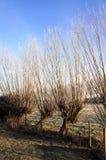 Χαρακτηριστικό ολλανδικό τοπίο παγωμένο σε έναν winterday με 4 δέντρα ιτιών κλαδεμένων δέντρων στοκ εικόνα