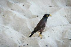 Χαρακτηριστικό πουλί Fijian στο νησί Mana, Φίτζι στοκ φωτογραφία