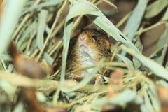 Χαρακτηριστικό ριγωτό ποντίκι χλόης Στοκ φωτογραφία με δικαίωμα ελεύθερης χρήσης