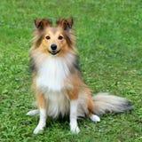 Χαρακτηριστικό τσοπανόσκυλο Shetland στοκ φωτογραφία