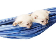 Χαριτωμένα άσπρα γατάκια σε μια αιώρα Στοκ Φωτογραφία