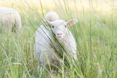 Χαριτωμένα άσπρα πρόβατα Στοκ εικόνες με δικαίωμα ελεύθερης χρήσης
