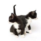 Χαριτωμένα δίδυμα γατάκια σμόκιν Στοκ Φωτογραφίες