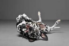 Χαριτωμένα από τη Δαλματία στα ψέματα ύπτια στο γκρίζο στούντιο φωτογραφιών υποβάθρου Στοκ εικόνα με δικαίωμα ελεύθερης χρήσης
