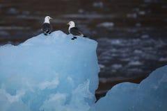 Χαριτωμένα αρκτικά πουλιά που στηρίζονται σε ένα μικρό παγόβουνο svalbard Στοκ εικόνες με δικαίωμα ελεύθερης χρήσης