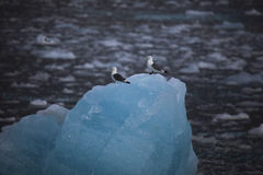 Χαριτωμένα αρκτικά πουλιά που στηρίζονται σε ένα μικρό παγόβουνο svalbard Στοκ εικόνα με δικαίωμα ελεύθερης χρήσης