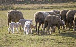 Χαριτωμένα αρνιά με τα πρόβατα Στοκ εικόνες με δικαίωμα ελεύθερης χρήσης