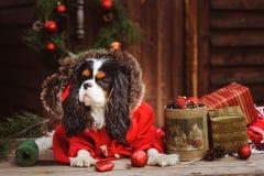 Χαριτωμένα αστεία Χριστούγεννα εορτασμού σκυλιών και νέο έτος με τις διακοσμήσεις και τα δώρα Κινεζικό έτος του σκυλιού Στοκ Εικόνες