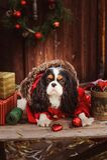 Χαριτωμένα αστεία Χριστούγεννα εορτασμού σκυλιών και νέο έτος με τις διακοσμήσεις και τα δώρα Στοκ Εικόνες