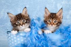 Χαριτωμένα βασικά γατάκια Coon Στοκ φωτογραφίες με δικαίωμα ελεύθερης χρήσης