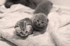 Χαριτωμένα βρετανικά γατάκια Shorthair Στοκ Εικόνες
