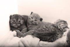 Χαριτωμένα βρετανικά γατάκια Shorthair Στοκ Φωτογραφία