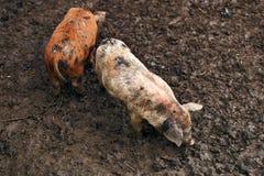 Χαριτωμένα βρώμικα χοιρίδια στο αγρόκτημα Στοκ εικόνα με δικαίωμα ελεύθερης χρήσης